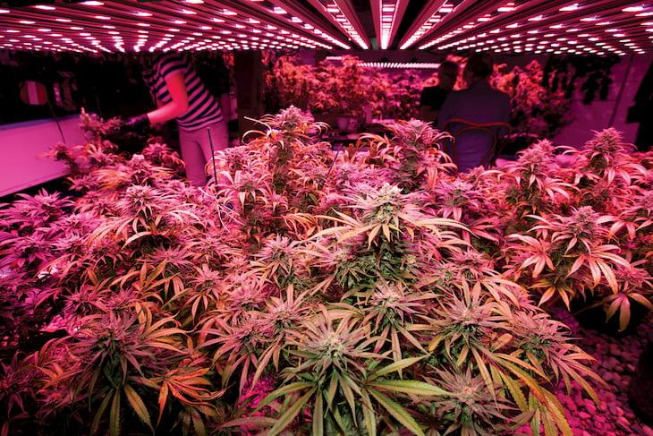 Cannabis Grow with LED Lights