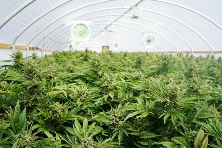 Large Indoor Marijuana Commercial Growing