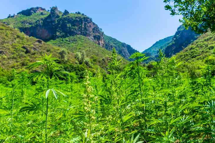 Rif Mountains cannabis in Marocco
