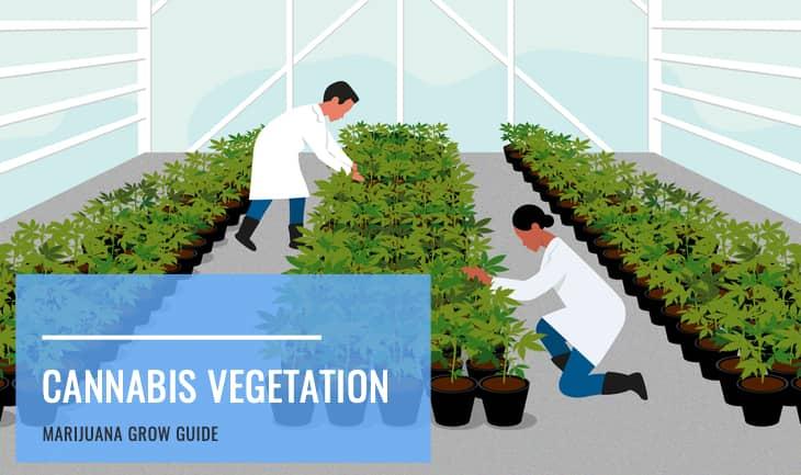 Cannabis vegetative growth stage