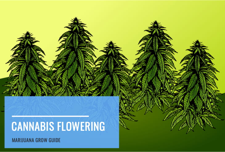 cannabis flowering growth stage guide