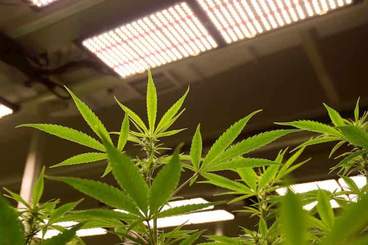 cannabis plants under led lights