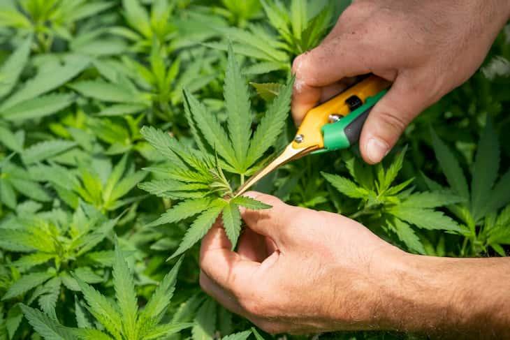 cannabis pruning