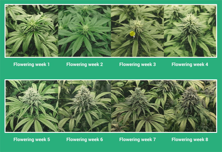 flowering stages